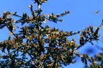 Monarch Butterflies on Oyamel Trees, El Rosario, Mexico