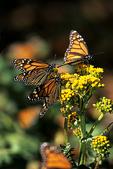 Monarch Butterflies on Asclepia, El Rosario, Mexico
