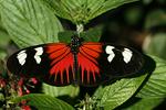 Heliconius Melpomene Butterfly, Butterfly World, Coconut Creek, Florida