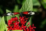 Piano Keys Butterfly, Butterfly World, Coconut Creek, Florida