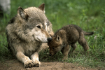 Wolf and Pup, Sandstone, Minnesota