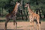 Two young giraffes, Botswana, Africa