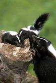 Skunk family, Sandstone, Minnesota