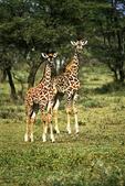 Two young giraffe, Tanzania, Africa