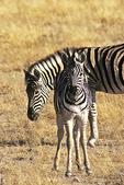 Zebra and colt, Etosha National Park, Namibia, Africa
