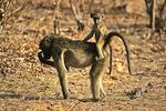 Baboon and baby, Botswana, Africa