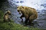 Bear and cub, Katmai National Park, Alaska
