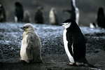 Chinstrap penguin and chick, Antarctica