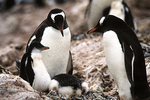 Gentoo penguin family at nest, Antarctica