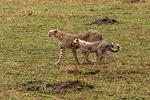 Cheetah and cub hunting, Kenya, Africa
