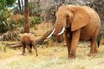 Elephant and baby, Kenya, Africa
