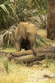 Elephant baby, Kenya, Africa