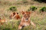 Lion cub in pride, Kenya, Africa