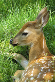 Fawn in grass, Peck's Wildwood Wildlife Park, Minocqua, Wisconsin