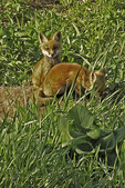 Red fox pups playing in prairie, Appleton, Wisconsin