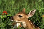 Fawn in meadow, Sandstone, Minnesota