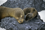 Sea lion and pup, Galapagos Islands, Ecuador