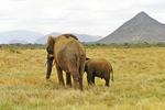 Elephants going away, Kenya, Africa