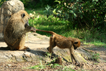Baboon cleaning baby, Kenya, Africa
