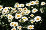 Daisies in Flower Bed, Appleton, Wisconsin