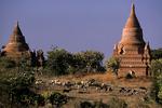 Bagan temples and goat herd, Bagan, Burma, Myanmar