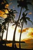 Palm Trees at Sunset, St. Kitts, Caribbean