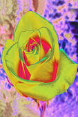 Yellow Painted Rose, Appleton, Wisconsin