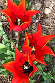 Three Red Tulips with Accented Edges, Appleton, Wisconsin
