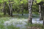 Forget-me-nots in the woods, Door County, Wisconsin