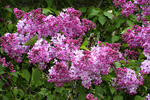 Lilac Bush in Spring, Door County, Wisconsin