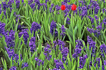 Red Tulips in Hyacinths, Boerner Gardens, Milwaukee, Wisconsin