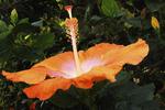Orange Hibiscus, Puerto Vallarta, Mexico