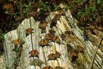 Monarchs on tree stump, El Rosario, Mexico