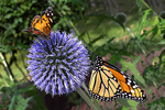 Butterflies on Globe Thistle, Mosquito Hill Butterfly House, New London, Wisconsin