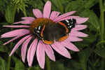 Red Admiral on Coneflower, Appleton, Wisconsin