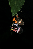 Mating Heliconius butterflies, Butterfly World, Coconut Creek, Florida