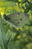 Common Sulphur with dew, Appleton, Wisconsin