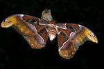 Atlas Moth, Callaway Gardens, Pine Mountain, Georgia