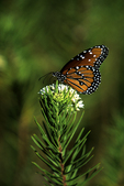 Monarch Butterfly on Whorled Milkweed, Tucson, Arizona