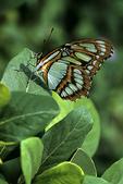 Malacite Butterfly, Butterfly House, Mackinac Island, Michigan