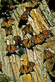 Wintering Monarch Butterflies on Stump, El Rosario, Mexico