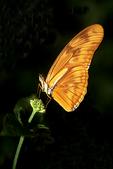 Julia Butterfly on plant, Milwaukee, Wisconsin