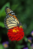 Monarch Butterfly on Marigold, Appleton, Wisconsin