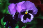 Pansy behind Frosted Glass, Appleton, Wisconsin