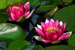 Pink Water Lilies with Poster Edges, Madison, Wisconsin