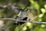 Female Broad-billed Hummingbird, Arizona-Sonora Desert Museum, Tucson, Arizona