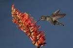 Anna Hummingbird at flower, Miller Canyon, Arizona
