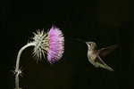 Anna Hummingbird at Thistle flower, Miller Canyon, Arizona