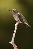 Anna Hummingbird on Branch, Miller Canyon, Arizona