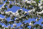 Apple Blossoms, Door County, Wisconsin